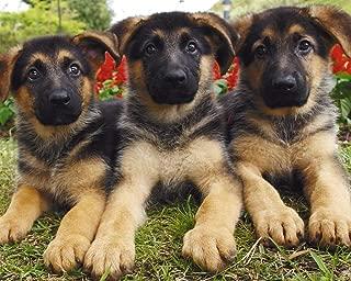 German Shepherd Puppies 504 Piece Jigsaw Puzzle 16