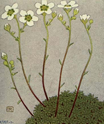 Alpine Flora 1911 Saxifraga Stellaris Poster Print by Philippe Robert (18 x 24)