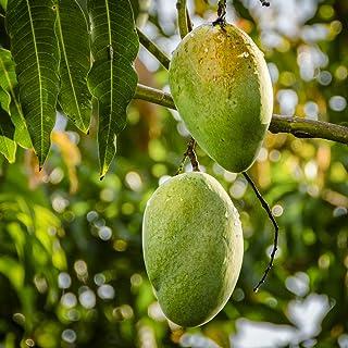 マンゴー キーツの苗木【果樹苗 1年生 接木苗/1個】ポット苗なので年中植付け可能!キーツは生産量が少なく市場にはほとんど出ませんので「幻のマンゴー」とも呼ばれたりします。アーウィンよりも約1ヶ月程収穫時期が遅いですが、果実が大きく、平均700...