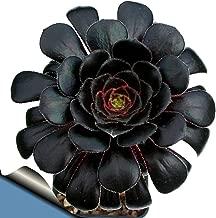 Black Rose Tree - Aeonium arboreum - RARE - Easy to grow! - 3