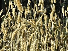 150 Sweet Vernal Grass Sweet Grass Vanilla Grass Anthoxanthum Odoratum Seeds