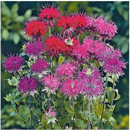 David's Garden Seeds Flower Bee Balm Panorama Mix 9988 (Purplish) 100 Non-GMO, Open Pollinated Seeds