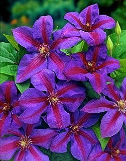 """Live Plant - Plant Mrs. N. Thompson Clematis Vine Purple & Scarlet Blooms 2.5"""" Pot"""