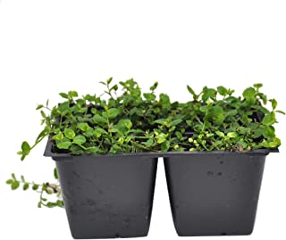 Isotoma fluviatillis, Blue Star Creeper Ground Cover, Pack of 4 Plants