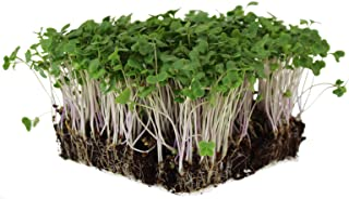 Waltham 29 Broccoli Seeds | Non-GMO Bulk Heirloom Broccoli Seeds for Sprouting, Microgreens, Vegetable Gardening, Garden S...