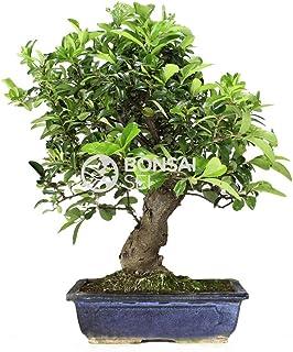 Bonsai - Espino de fuego, 12 Años (Bonsai Sei - Pyracantha)