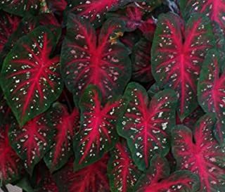24 #1 Large Caladium Bulbs Red Flash - Very Large Caladium - Vibrant Red with Petite Pink Specks and a Dark Green Margin