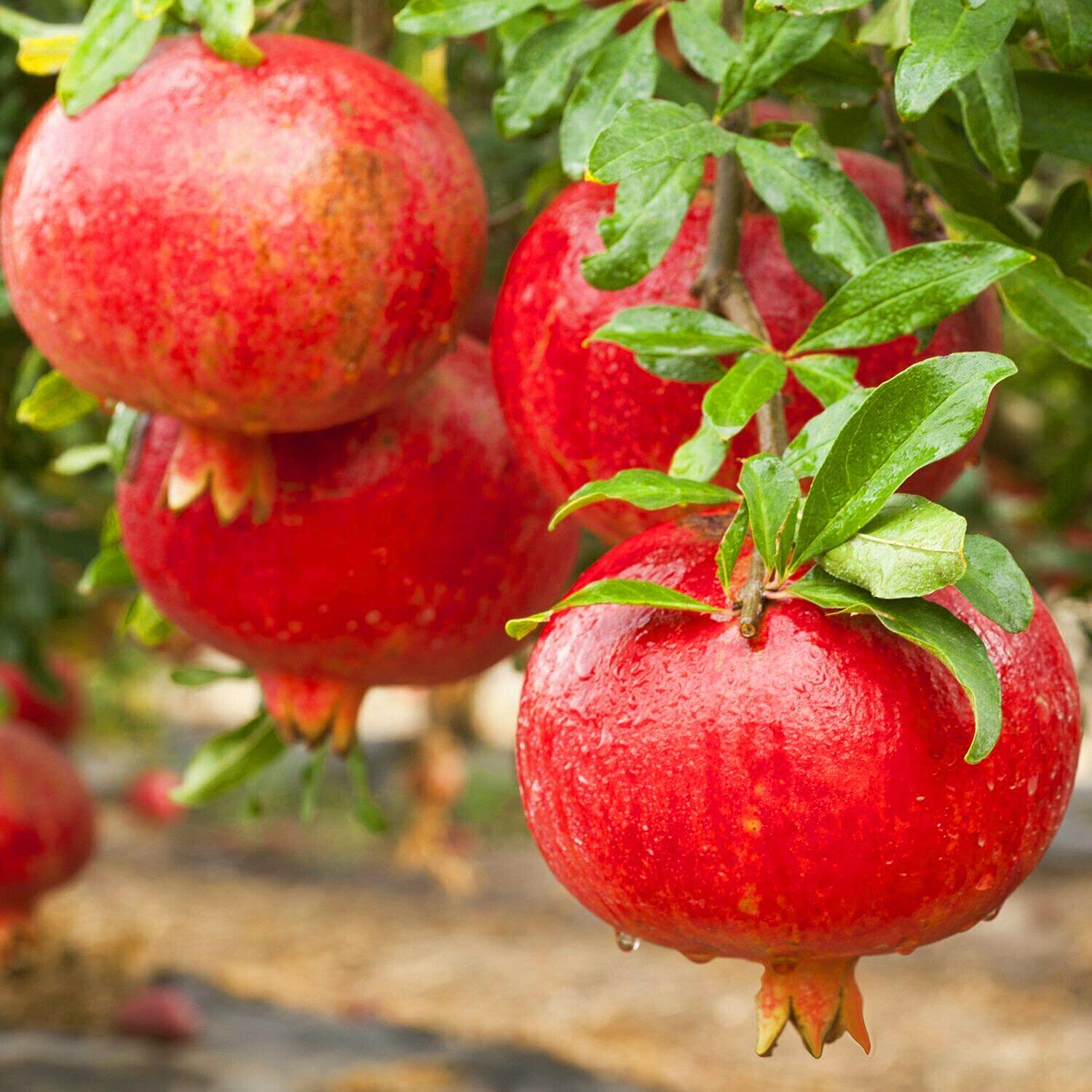 'Wonderful' Pomegranate Punica Granatum Tall R.ooted Free shipping Mail order cheap 6