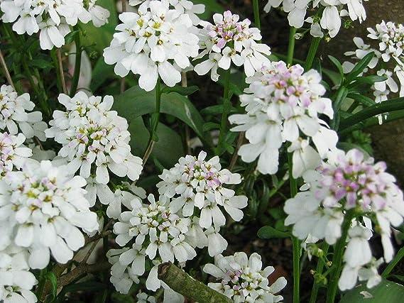 Iberis Sempervirens Perennial Candytuft jocad (10 Seeds)