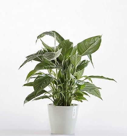 Fișier:Spathiphyllum nucleus-mc.ro - Wikipedia