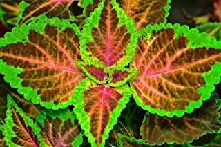 Coleus Fairway Ruby 25 Seeds - red Leaves with Yellow Edge