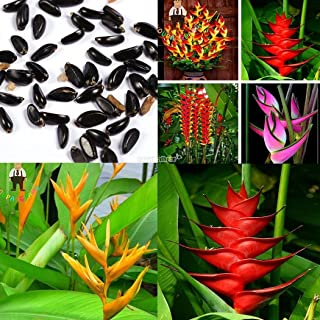 AGROBITS Rouge Vert  Strelitziz Reginae Orange Rouge Paradise -50 Exoitic Voir