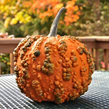 David's Garden Seeds Pumpkin Frankenstein Goose Bumps II SL9444 (Orange) 25 Non-GMO, Hybrid Seeds