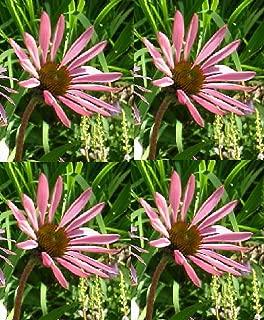 Echinacea Tennesseensis Perennial Flowers Seeds 1,000 Pcs an