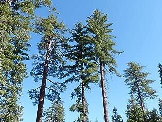 1 oz Seeds (Approx 131 Seeds) of Pinus lambertiana, Sugar Pine, Giant Pine, Pino Pine