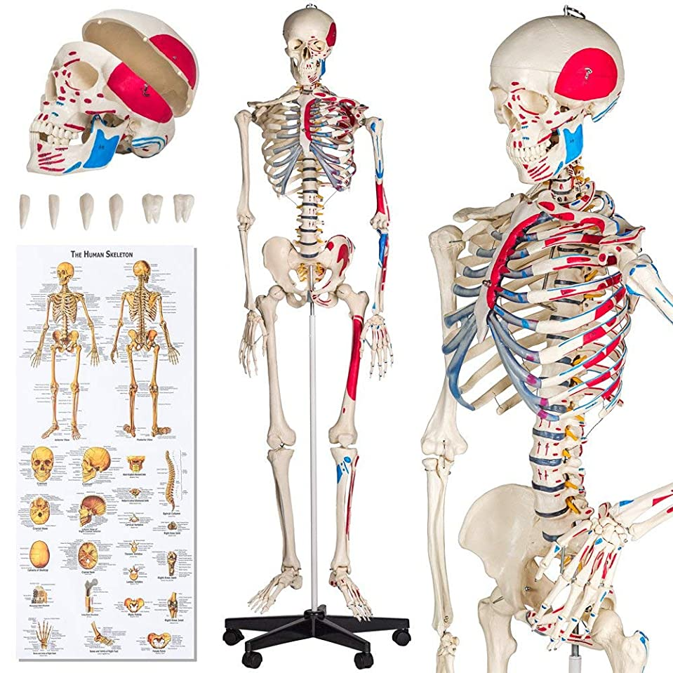 横たわる方向作り上げる人間の骨格解剖学的モデルの生命サイズ - 異なるモデル - (筋肉を描く人間の骨格| No. 401755)