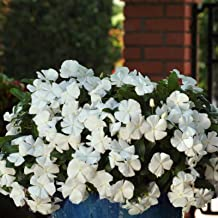 Vinca Flower Garden Seeds - Mediterranean XP Series - White - 100 Seeds - Annual Flower Gardening Seed