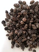 BANBERRY DESIGNS Mini White Washed Pinecones - Approx. 200 Small Assorted Sized Pine Cones - Fall and Christmas Craft