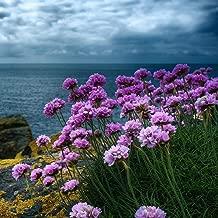 armeria maritima sea Thrift Rose Shades - 100 Seeds - Perennial