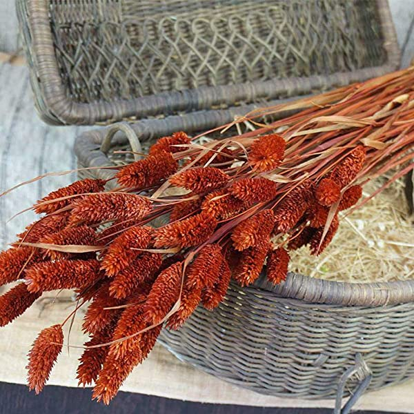 Yuema 20Pcs Bunch Bunny Tails Lagurus Ovatus Grass Dried Flowers Home Party Decor New For Home Decor Crafts Gift Wedding Or Any Occasion Vintage Orange