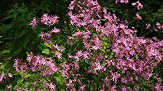 100 Ragged Robin Pink Purplish Lychnis Flos Cuculi Flower Seeds +Gift & Comb S/H