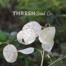 Money (Silver Dollar) Plant - 100 Seeds