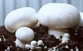 White Button Mushroom (Agaricus bisporus) Mycelium Spawn Dried Seeds (25g) by Mycelium plus