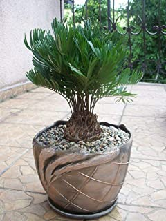 coontie palm tree