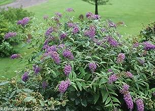 Lo & Behold Buddleia x 'Purple Haze' PPAF - Butterfly Bush-4