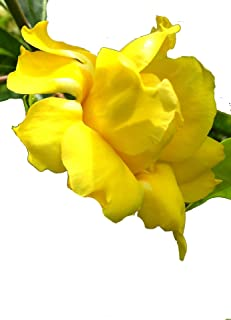 STANSILLS Double Yellow Allamanda Vine Live Plant Semi-Tropical Sunny Golden Flowers Starter Size 4 Inch Pot Emerald tm