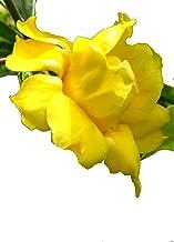 Best allamanda vine plant Reviews