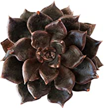 Echeveria Black Prince Hens and Chicks Succulent (4 inch)