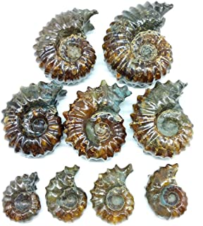 LIXUAN Goat Horn Ammonite Fossil Iridescent Natural Polished Douvilleiceras Ammolite Ancient Opalized Spiral Stone Mineral Shells (35-40MM)