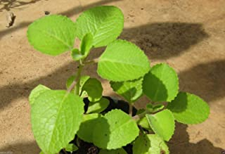Ajwain Herb Plant Seed- Carom,Ethiopian Cumin- Medical/Culinary Herb- EZ To Grow 500 seed