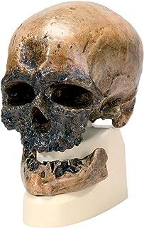 3B Scientific VP752/1 Crô-Magnon Anthropological Skull Model, 8.5