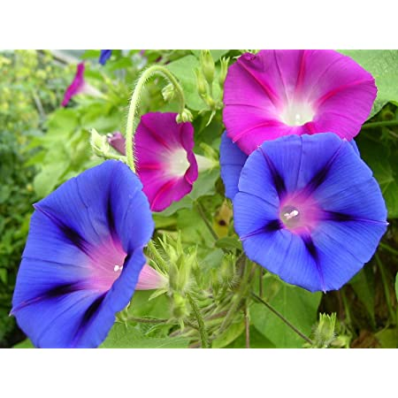15 Seeds Ismay Details about  /Morning Glory