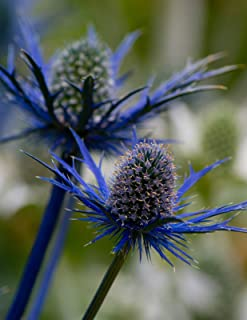 BLUE SEA HOLLY 113+ SEEDS, AMAZING METALLIC BLUE FLOWERS AND STEMS, EZ TO GROW