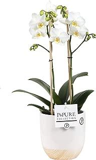6 pousses Dendrobium Berry Oda Bambou orchid/ée rose Hauteur: 40 cm Orchid/ée de Botanicly