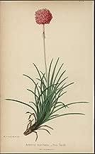 Armeria Maritima Sea Thrift 1866 lovely antique Botanical print