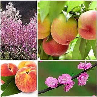 frost peach tree