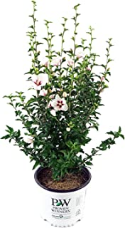 Proven Winners - Hibiscus syriacus Lil' Kim (Rose of Sharon) Shrub, white flowers w/red eye, #3 - Size Container