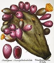 Cactus Opuntia 1613 Nopuntia Ficus-Indica() Engraving From Basilius BeslerS Hortus Eystettensis (Altdorf 1613) Poster Print by (24 x 36)