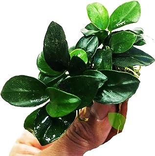 Planterest - Anubias Nana Petite Potted Live Aquarium Plant Decorations BUY2GET1FREE