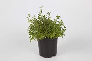 lemon tarragon plant