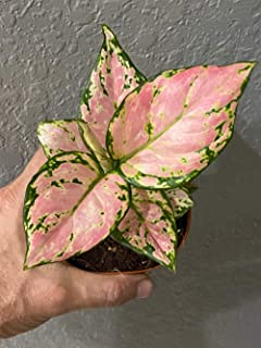 """Lucky Pink Variegated Aglaonema -Leaves Turn from Pink to red -Live Plants-Tropical-4"""" Grow Pot-perrenial House Plant"""