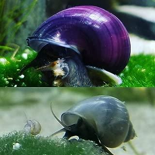 Polar Bear's Pet Shop HOT! 2 Live Mystery Snails Package! 1 Purple, 1 Blue Aquarium Snail & Food Sample!