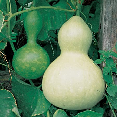 Tennessee Spinning Gourd 25 seeds ORGANIC