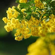 XKSIKjian's Garden 50 Golden Mimosa Seeds Acacia Baileyana Yellow Wattle Tree Ornamental Plant Home Yard Office Decor Non-GMO Seeds Open Pollinated Seeds for Planting