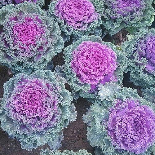100 pièces rares graines de fleurs Red Anthurium Andraeanu Graines Balcon pot de fleur pour le bricolage jardin