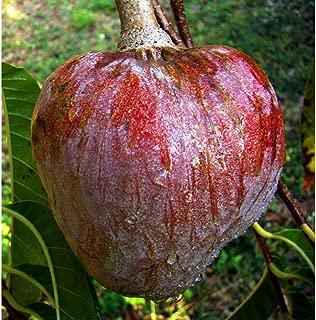 Red Custard Apple Tropical Fruit Tree 36